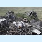 Птенец орла-могильника